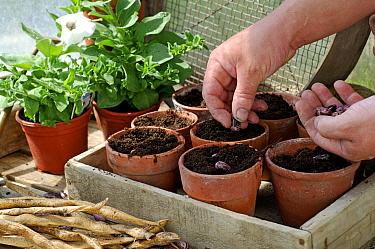 Planting runner bean (Phaseolus genus) seeds in the greenhouse in spring, UK  -  Gary K. Smith/ npl
