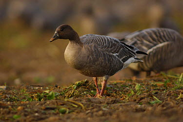 Pink footed goose (Anser fabalis brachyrhynchus) nr Burnham Market, Norfolk, UK  -  Mike Potts/ npl