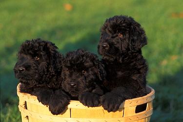 Domestic dogs, three Russian Black Terrier puppies in a basket  -  Adriano Bacchella/ npl