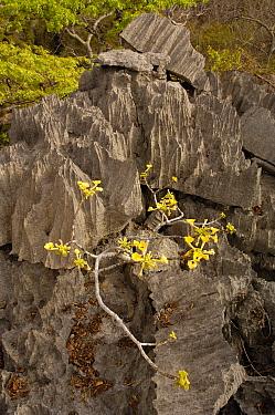 flowering plant (Incarina sp?) growing on Tsingy Ankarana Special Reserve Northern MADAGASCAR  -  Pete Oxford/ npl