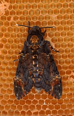 Deaths head hawk moth, Germany  -  Hans Christoph Kappel/ npl
