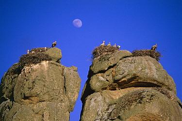 White storks nesting on rocks (Ciconia ciconia) Spain  -  Jose B. Ruiz/ npl
