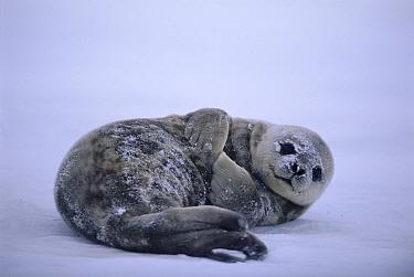 Weddell seal pup (Leptonychotes weddelli) on ice Weddell Sea, Antarctica  -  David Tipling/ npl