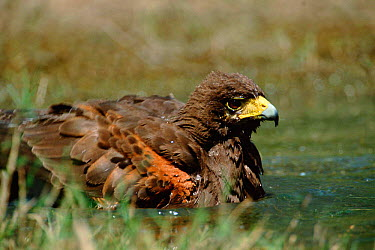 Harris hawk bathing (Parabuteo unicinctus) Texas, USA  -  David Welling/ npl