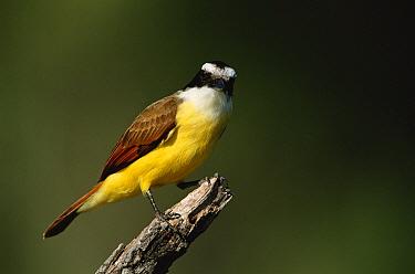 Great kiskadee (Pitangus sulphuratus) Texas, USA  -  David Welling/ npl