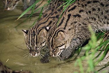 Two young Fishing cats (Prionailurus, Felis viverrinus) drinking Captive  -  Rod Williams/ npl
