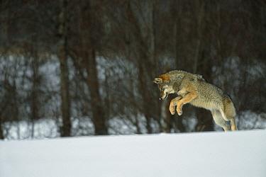 European Grey Wolf (Canislupus) hunting rodents in snow, Toropets, Russia  -  Staffan Widstrand/ npl