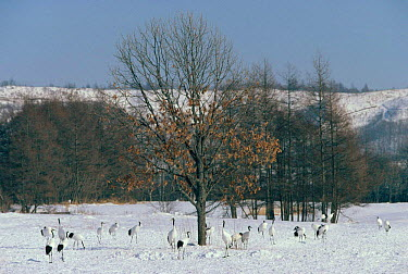 Japanese crane flock in snow (Grus japonensis) Hokkaido, Japan  -  Patrick Morris/ npl