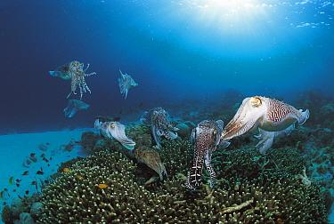 Group of Broadclub cuttlefish gathered as females lay eggs on reef (Sepia latimanus) Sulu-sulawesi seas, Indo-Pacific  -  Jurgen Freund/ npl