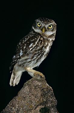 Little owl portrait at night (Athene noctua) Germany  -  Ingo Arndt/ npl