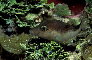 Sharpnose pufferfish (Canthigaster sp) Caribbean  -  Jurgen Freund/ npl