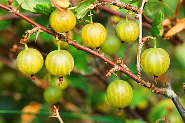Gooseberry fruit on bush (Ribes uva crispa) Devon, UK allotment garden  -  Dan Burton/ npl