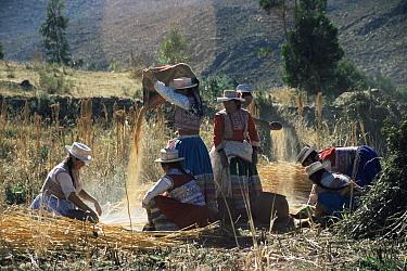 Women working on Quinoa harvest, Colca valley, Peru  -  Karen Bass/ npl