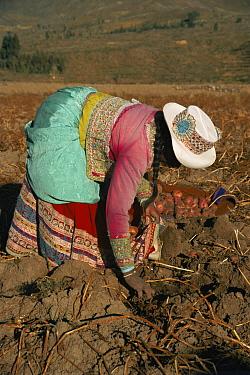 Potato harvest, Colca valley, Peru  -  Karen Bass/ npl