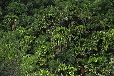 Tropical rainforest canopy with coconut palm trees, Vallee de Mai, Praslin Island, Seychelles, Indian Ocean  -  Claudio Velasquez/ npl