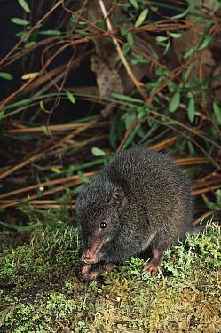 Dusky Antechinus (Antechinus swainsonii) Tasmania, Australia  -  Dave Watts/ npl