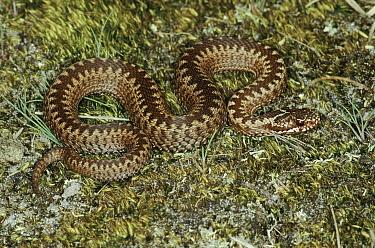 Adder snake, Denmark  -  Hans Christoph Kappel/ npl