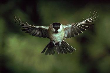Marsh Tit in flight, Germany  -  Hans Christoph Kappel/ npl