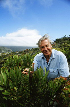 David Attenborough with (Protea sp) plant, Cape Point, South Africa, on location for BBC Private Life of Plants, 1993  -  Neil Nightingale/ npl