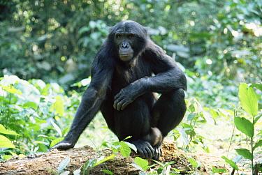Bonobo adult male, Wamba, DR Congo (Pan paniscus)  -  Karen Bass/ npl