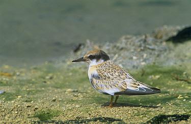 Saunders' Little, Black shafted Tern (Sterna saundersii) juvenile on shore, Khor Dirif, Oman  -  Hanne & Jens Eriksen/ npl