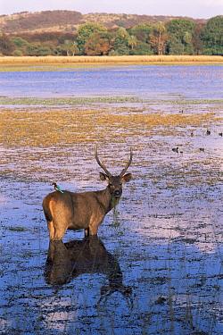 Indian sambar deer (Cervus unicolor) feeding in lake with Indian roller sitting on back, Ranthambhore NP, Rajasthan, India  -  Ana Lockwood/ npl