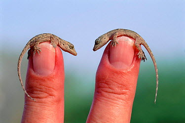 Two tiny Yellow bellied house geckos on fingers (Hemidactylus flaviviridis) Muscat Oman Middle East  -  Hanne & Jens Eriksen/ npl