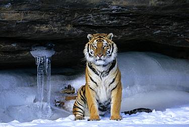 Siberian tiger in snow (Panthera tigris altaica)  -  Lynn M. Stone/ npl