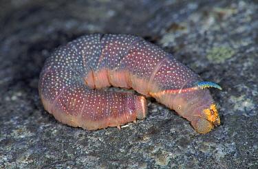 Lime Hawk moth caterpillar, Germany  -  Hans Christoph Kappel/ npl