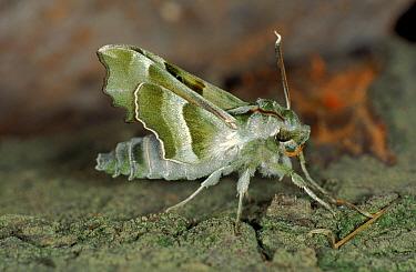 Prosperpina Hawk moth, Germany  -  Hans Christoph Kappel/ npl