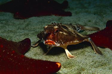 Red lipped batfish, Galapagos batfish (Ogcocephalus darwini) Cocos Is, Costa Rica  -  Florian Graner/ npl