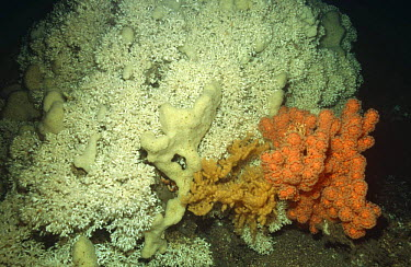 Cold water corals (Lophelia perfusa) and (Paragorgia arborea) Norway  -  Florian Graner/ npl