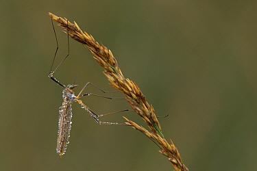 Daddy long legs, Cranefly (Tipula oleracea) covered in dew, Belgium  -  Bernard Castelein/ npl
