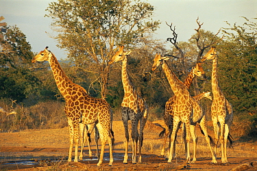 Giraffes at the waterhole, Kruger NP South Africa  -  Ron O'Connor/ npl