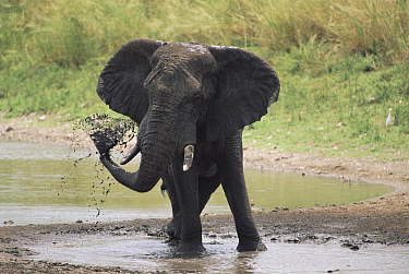 African elephant (Loxodonta africana) spraying water Kruger NP South Africa  -  Ron O'Connor/ npl
