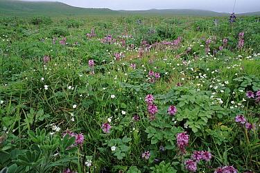 Arctic Tundra in bloom, St Paul's Island, Pribilof Islands, Bering Sea, Alaska, USA  -  David Tipling/ npl
