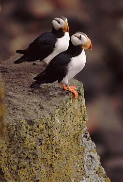 Horned puffin pair, St Paul's Island, Pribilof Islands, Alaska  -  David Tipling/ npl
