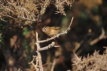 Goldcrest (Regulus regulus) UK Europe  -  David Tipling/ npl