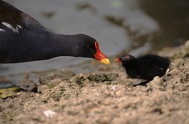 Moorhen feeding chick, UK, Europe  -  David Tipling/ npl