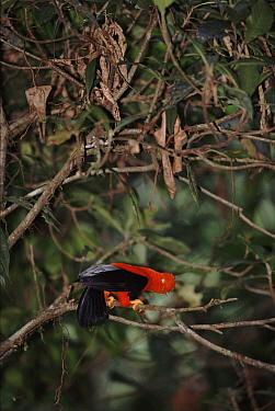 Cock-of-the-rock (Rupicola peruviana) male at lek in cloud forest, Manu Biosphere Reserve, Peru  -  David Tipling/ npl