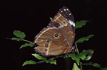 Morpho butterfly, Amazonian Basin, Manu, Peru  -  David Tipling/ npl