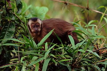 Brown capped capuchin in cloudforest, Manu, Peru, South-America  -  David Tipling/ npl