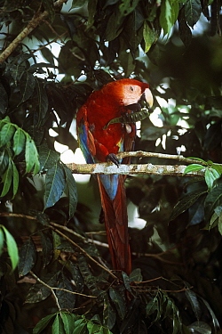 Scarlet macaw (Ara macao) feeding on seed pods, Amazon rainforest, Manu, Peru, South-America  -  David Tipling/ npl