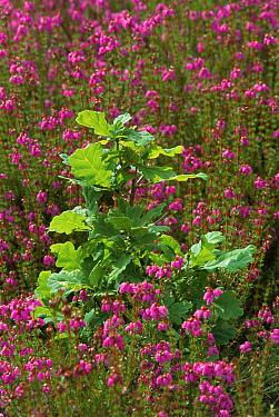 English oak sapling surrounded by heather on Holt Heath, Dorset UK  -  Graham Hatherley/ npl