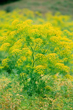 Alexanders in flower (Smyrnium olusatrum) Spain  -  Jose B. Ruiz/ npl