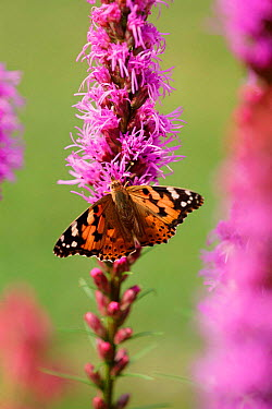 Painted lady butterfly (Cynthis cardui) Sweden  -  Bengt Lundberg/ npl