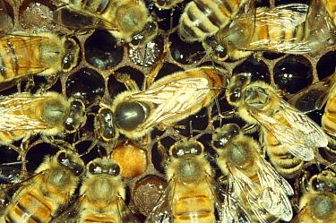 Queen and court of worker Honey bees (Apis mellifera) UK  -  John B Free/ npl