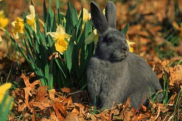 Domestic rabbit (New Zealand) bunny in daffodils  -  Lynn M. Stone/ npl