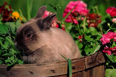 Domestic rabbit, Netherlands Dwarf breed  -  Lynn M. Stone/ npl