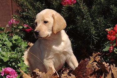 Ladrador dog puppy, USA  -  Lynn M. Stone/ npl